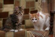 Продам котят породы  курильский бобтейл-маленькая рысь