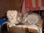 Продаются ШОТЛАНДСКИЕ,  вислоухие и прямоухие котята
