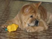 Продам щенка породы чау-чау