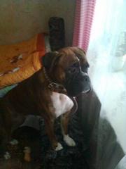 Продам собаку породы  немецкий боксер